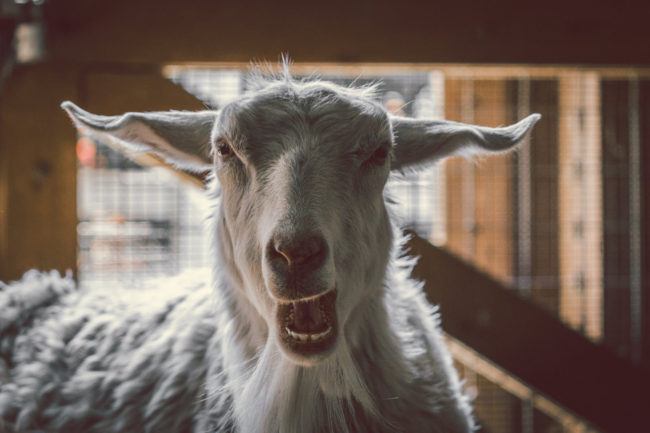 Teeth by Mako Miyamoto Travel and Lifestyle Photography hairy goat