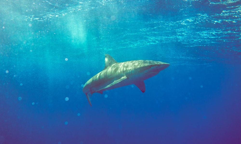 Sharks Mako Miyamoto Photography Ocean Underwater Photography