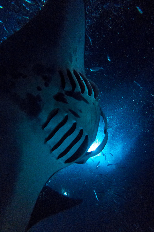 The Abyss Manta Rays Mako Miyamoto Underwater Ocean Photography in Hawaii