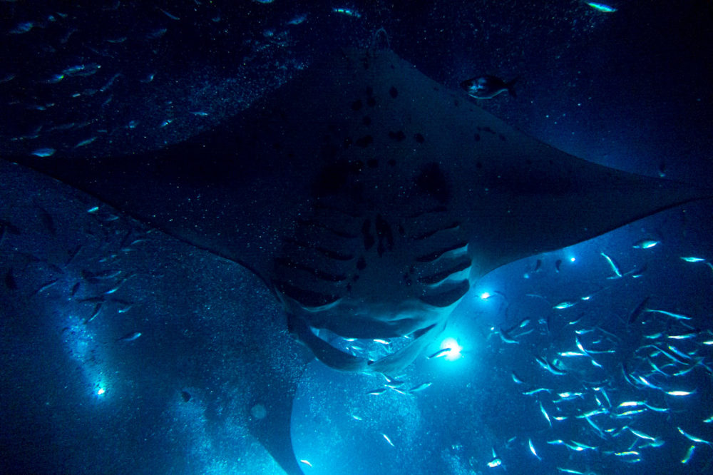 The Abyss Manta Rays Mako Miyamoto Underwater Ocean Photography in Hawaii
